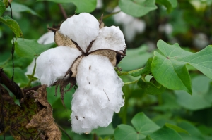 American Southern Cotton South Carolina