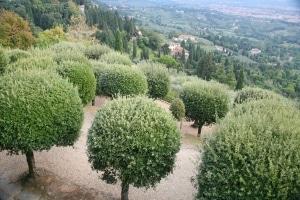 olive trees in Tuscany Italy
